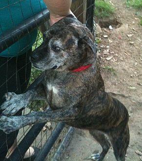 American Pit Bull Terrier Mix Dog for adoption in Acworth, Georgia - Amanda