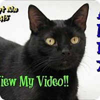 Domestic Shorthair Cat for adoption in Sarasota, Florida - Alex