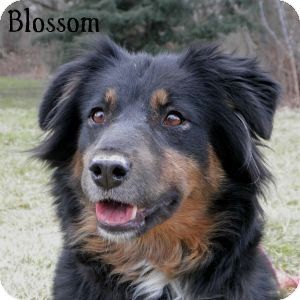 Labrador Retriever Mix Dog for adoption in Warren, Pennsylvania - Blossom