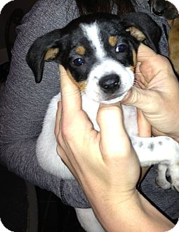 Rat Terrier Mix Puppy for adoption in Charlemont, Massachusetts - August