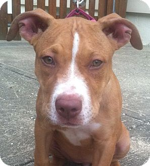 American Staffordshire Terrier/Terrier (Unknown Type, Medium) Mix Puppy for adoption in North Olmsted, Ohio - Cali