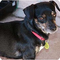 Adopt A Pet :: Chance - Gilbert, AZ