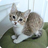 Adopt A Pet :: Hippolyta - The Colony, TX