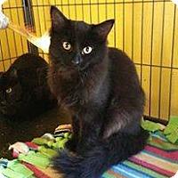 Adopt A Pet :: Amelia - Putnam, CT