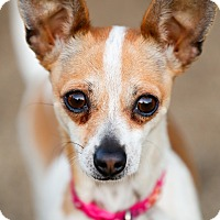 Adopt A Pet :: Holly - Encino, CA