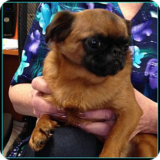 KIBBLES - ADOPTION PENDING   Adopted Dog   Seymour, MO ... Adopt A Brussels Griffon Puppy