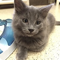 Adopt A Pet :: Kitten Neptune - Seal Beach, CA