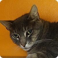 Adopt A Pet :: Gray Boy - Elyria, OH