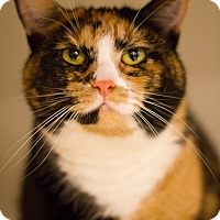 Calico Cat for adoption in Grayslake, Illinois - Clawdette