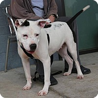 American Staffordshire Terrier Dog for adoption in Golsboro, North Carolina - HOPE