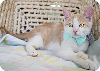 Domestic Shorthair Kitten for adoption in Montclair, California - Paws