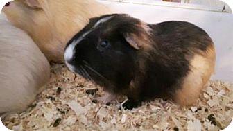 Guinea Pig for adoption in Simcoe, Ontario - Girdini