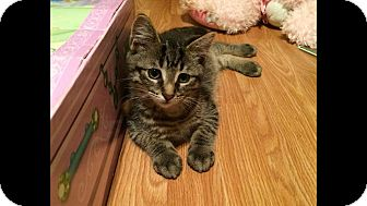 Domestic Shorthair Kitten for adoption in THORNHILL, Ontario - Potato Chip