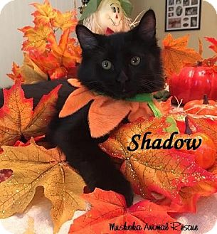 Domestic Shorthair Kitten for adoption in Huntsville, Ontario - Shadow - Likes to Chat!