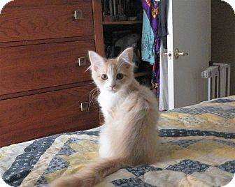 Domestic Longhair Kitten for adoption in North Wilkesboro, North Carolina - woody