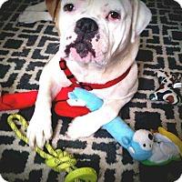 Adopt A Pet :: Pearl - E. Greenwhich, RI