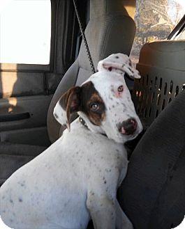 Pointer/Terrier (Unknown Type, Medium) Mix Puppy for adoption in Albuquerque, New Mexico - Owen