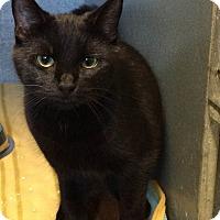 Domestic Shorthair Kitten for adoption in West Warwick, Rhode Island - Greta