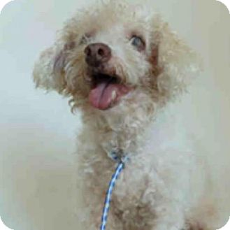 Poodle (Miniature) Mix Dog for adoption in Austin, Texas - Topper