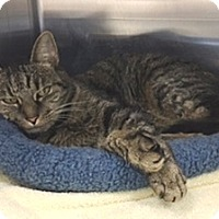 Domestic Shorthair Cat for adoption in Fairfax, Virginia - Hope