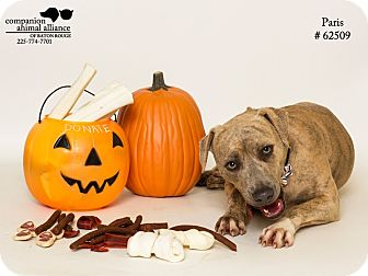 Pit Bull Terrier/Hound (Unknown Type) Mix Dog for adoption in Baton Rouge, Louisiana - Paris (Foster Care)