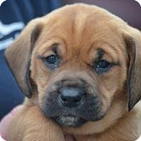 Adopt A Pet :: Reign's Pups: Grover - Doylestown, PA