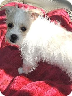 Jack Russell Terrier Mix Puppy for adoption in La Habra Heights, California - Ned