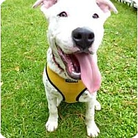 Adopt A Pet :: Boomer, Deaf but Darling - Concord, CA