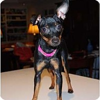 Adopt A Pet :: Dixie Diva - Nashville, TN