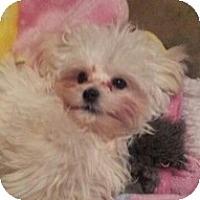 Adopt A Pet :: Chance - Seymour, CT