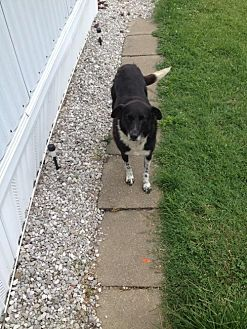 Border Collie Dog for adoption in Plymouth, Indiana - Baxter (Courtesy Listing from Payneville, KY)