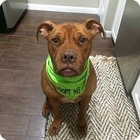 Adopt A Pet :: Scooby - Windermere, FL