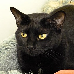 Photo 4 - Domestic Shorthair Cat for adoption in Westville, Indiana - Satina