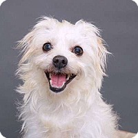 Adopt A Pet :: Lil Bear - Sudbury, MA