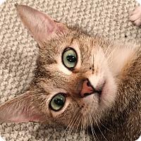 Adopt A Pet :: Olivia - Kirkland, WA