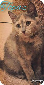 Domestic Shorthair Kitten for adoption in Garner, North Carolina - Topaz