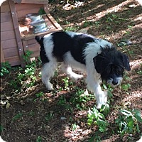 Adopt A Pet :: Jazmine - Bernardston, MA
