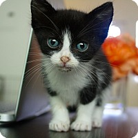 American Shorthair Kitten for adoption in Miami, Florida - Marco