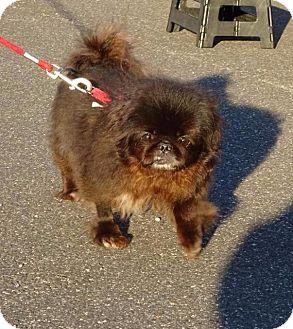 Pekingese Dog for adoption in Freeport, New York - Daisy Margherita