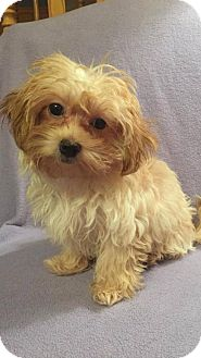 Maltese/Yorkie, Yorkshire Terrier Mix Puppy for adoption in St. Louis Park, Minnesota - Patty  - No Longer Accepting Applications 10/17/16