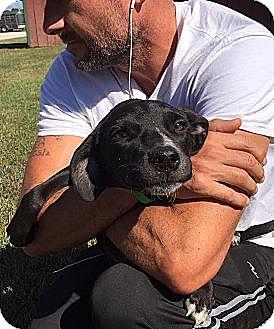 Labrador Retriever/Border Collie Mix Puppy for adoption in Harrisonburg, Virginia - Breenie