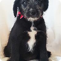 Terrier (Unknown Type, Medium) Mix Puppy for adoption in Mooresville, North Carolina - Sugar