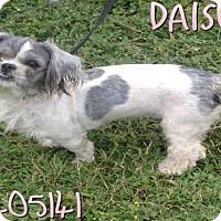 Adopt A Pet :: DAISEY - San Antonio, TX