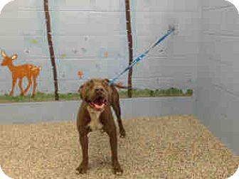 Pit Bull Terrier Dog for adoption in San Bernardino, California - URGENT ON 11/5  San Bernardino