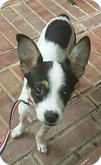 Rat Terrier/Terrier (Unknown Type, Medium) Mix Dog for adoption in Columbia, Tennessee - Rudy/TX