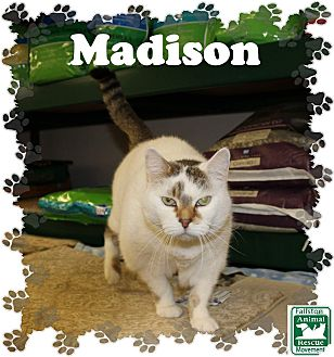Calico Cat for adoption in Fallston, Maryland - Madison