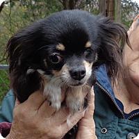 Adopt A Pet :: Felicia - Crump, TN