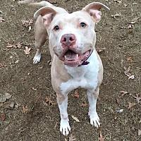 Adopt A Pet :: Latte - Charlotte, NC