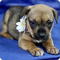 Adopt A Pet :: Daniella - Picayune, MS