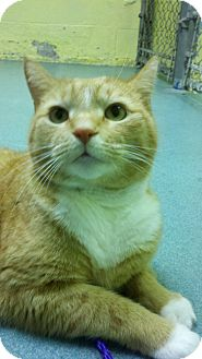 Domestic Shorthair Cat for adoption in Richboro, Pennsylvania - King Phil